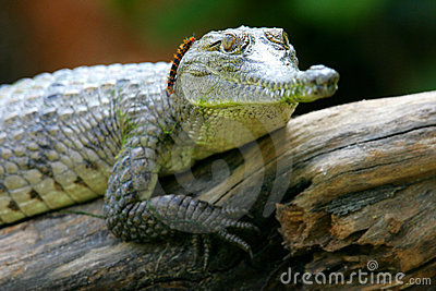Fresh Water Crocodile