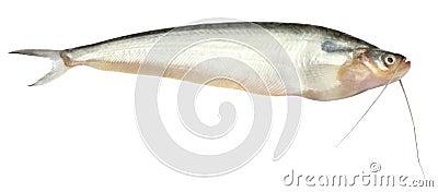Fresh water Pabda fish of Southeast Asia