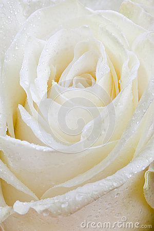 Fresh wet white rose