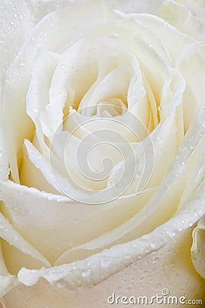 Fresh wet white rose