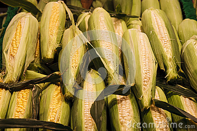Fresh White and Yellow Corn