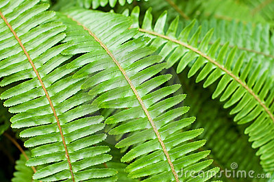 Fresh young bright green fern