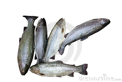 Freshly caught trouts lying on