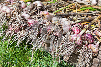 Freshly dug organic garlic