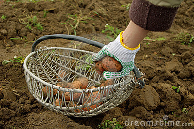 Freshly dug potatoes in a basket