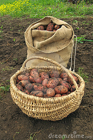 Freshly dug potatoes in a basket and burlap bag