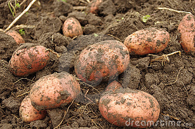 Freshly dug potatoes in field