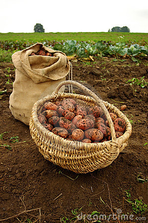 Free Freshly Dug Potatoes In A Basket And Burlap Bag Stock Images - 16089314