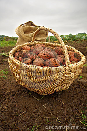 Free Freshly Dug Potatoes In A Basket And Burlap Bag Royalty Free Stock Photos - 16089338