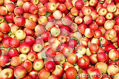 Freshly harvested crimson crisp apples on display