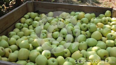 Freshly harvested green apples in big wooden crate in orchard. Harvest season. Big wooden box full of freshly picked apples standing in fruit garden stock footage