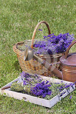 Freshly harvested lavender