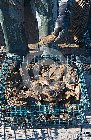 Freshly harvested oysters