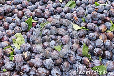 Freshly harvested prune plums on display