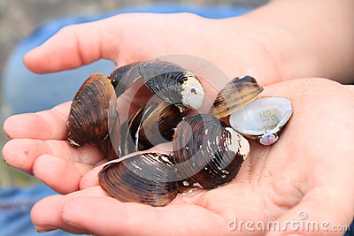Freshwater clamshells
