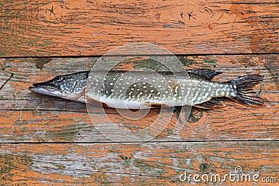 Freshwater fish pike