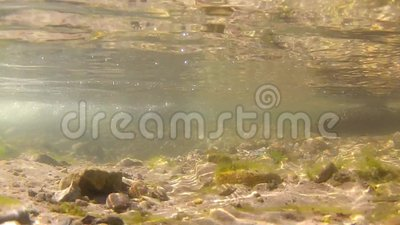 Freshwater stream and two brown trouts. A freshwater stream and two brown trouts in Wyoming stock video footage