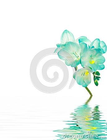 Fresia flower - blue for spa