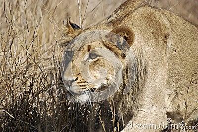Förfölja för lion