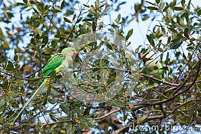 Färgrika papegojor