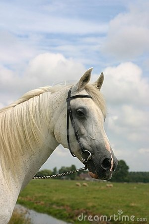 Friendly arabian horse