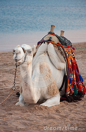 Friendly Camel