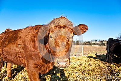 Friendly cattle on straw