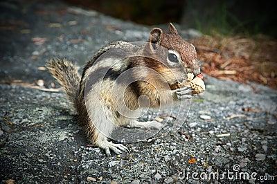 Friendly Chipmunk