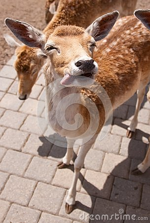Friendly Deer
