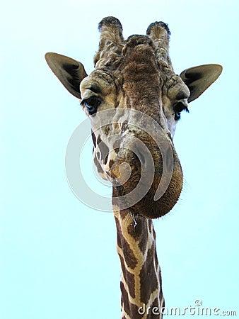 Free Friendly Giraffe Stock Image - 694391