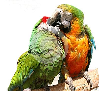 Free Friendly Parrots Stock Photo - 131140