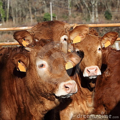 Friends Three Limousin Calves Headshot