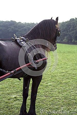 Friesian carriage horse