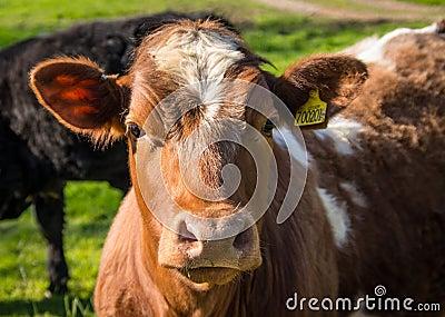 Friesian Cow Portrait