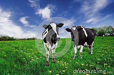 Friesian Cows.