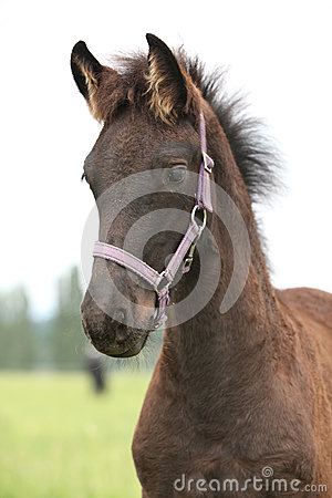 Friesian foal with halter standing on pasturage