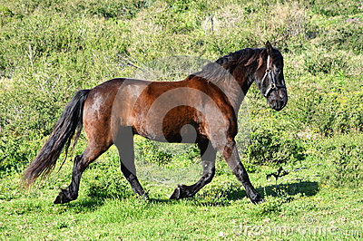 Friesian horse in motion