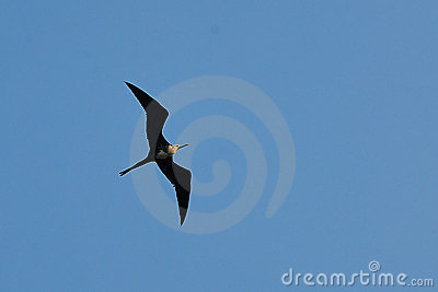 A Frigate Bird