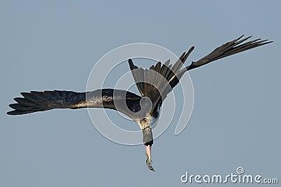 Frigate bird fishing