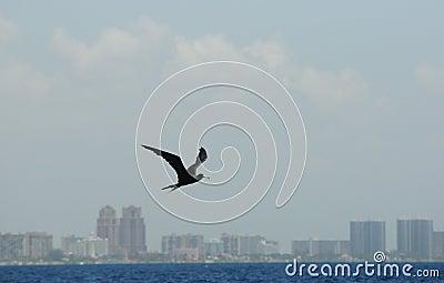 Frigate bird flying over ocean near coastline