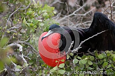 Frigate bird, Galapagos.
