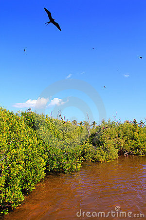 Frigate bird reproduction Contoy island mangrove