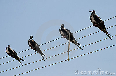 Frigate birds on a wire