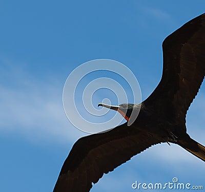 Frigate, flying in blue sky