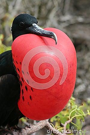 Free Frigate, Galapagos Royalty Free Stock Image - 5165686