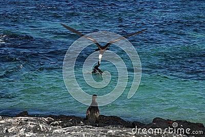 Frigatebird steals prey from cormorant, Galapagos