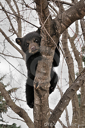 Frightened American Black Bear Cub Hangs in Tree