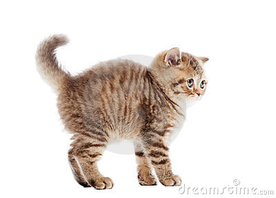 Frightened chocolate British Shorthair kitten