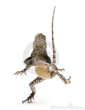Frill-necked lizard, also known as the frilled