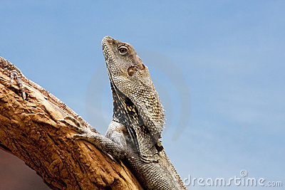 Frilled Dragon Closeup
